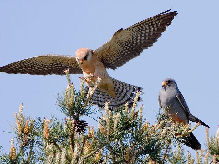 http://www.vogelsindekempen.nl/Multimedia/roodpootvalk2a.jpg